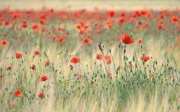 L'opium est fabriqué à partir de ces fleurs